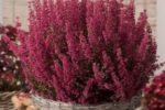 Per le sue caratteristiche, la pianta dell'erica è stata scelta come simbolo  della tenacia e della resilienza  delle persone afasiche